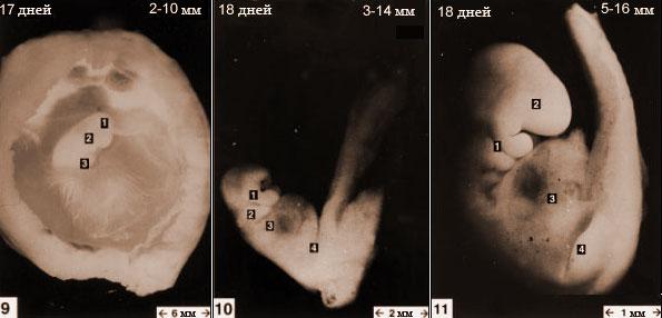 Эмбрион котёнка 17-18 день в утробе кошки