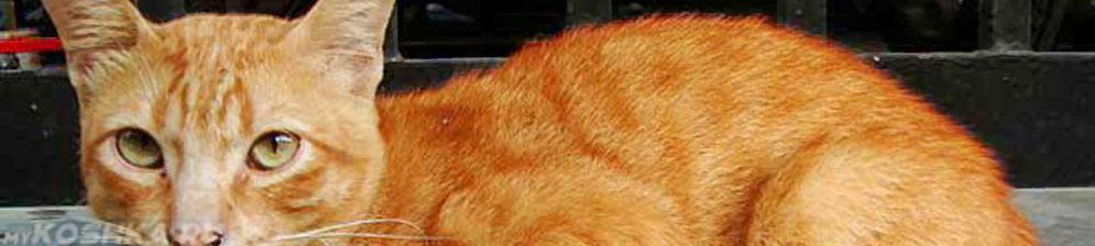 Рыжий кот в возрасте 8 лет
