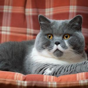 Кошка британская короткошёрстная