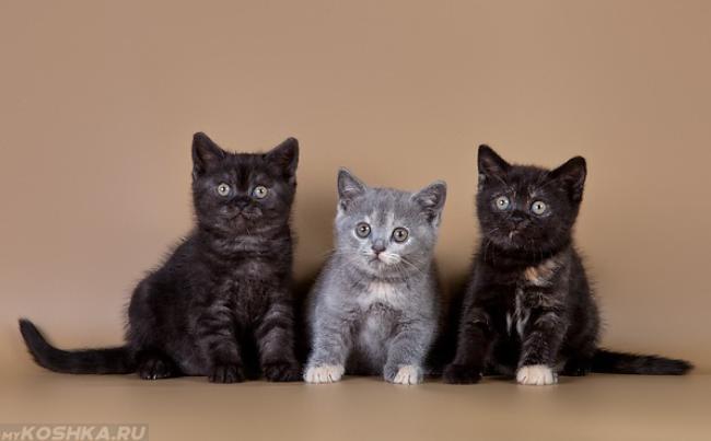 Котята британской короткошёрстной с дефектом окраса