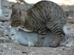 Кот и кошка спариваются
