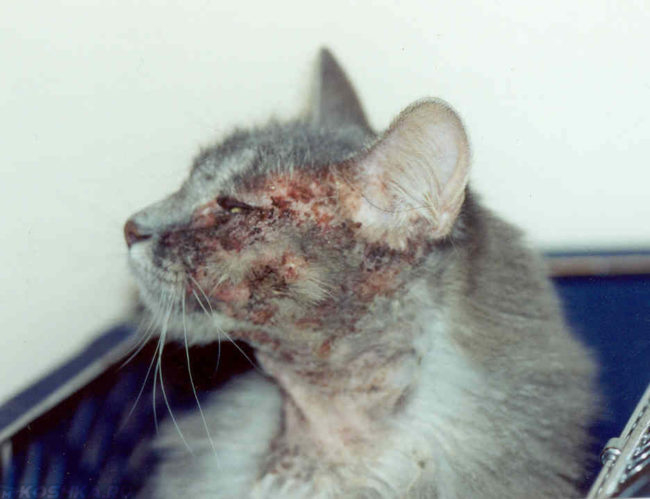 Ярко выраженный аллергический дерматит у кошки