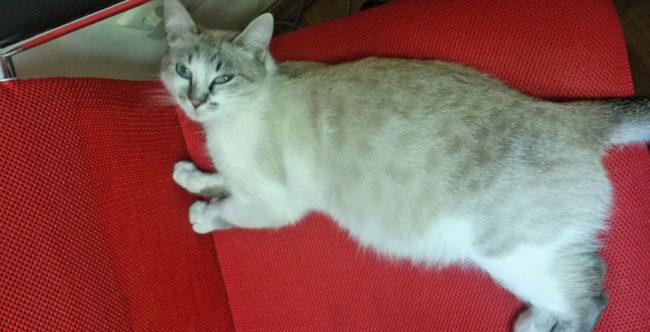 Кошка на среднем сроке беременности