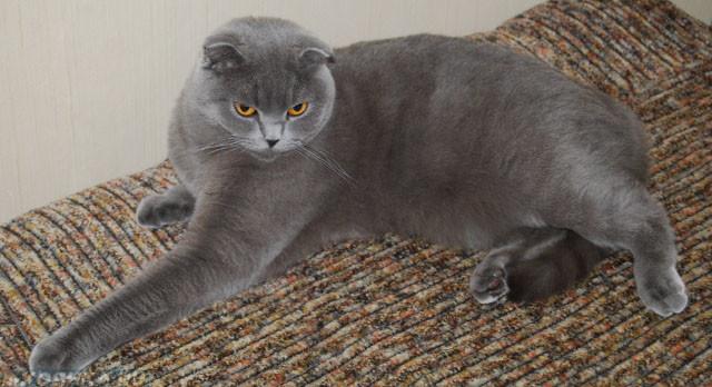 Беременная шотландская кошка на маленьком сроке