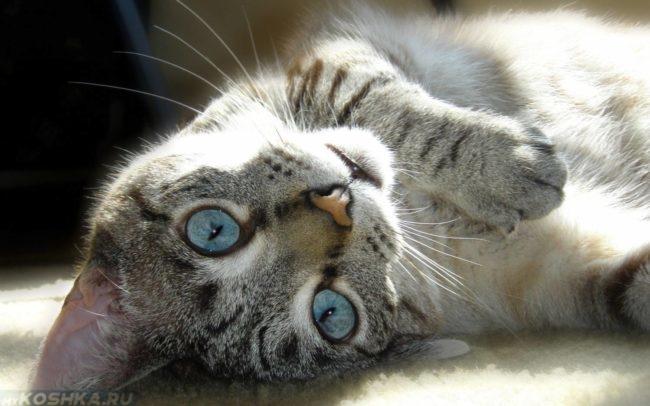Голубоглазая беременная кошка
