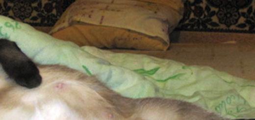 Беременная кошка лежит на диване