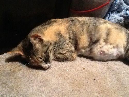 Беременная кошка отдыхает и спит