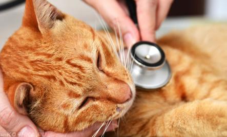 Осмотр ветеринаром больного взрослого кота