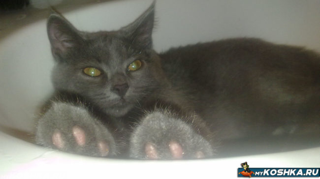 Британская кошка лежит в раковине
