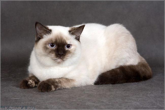 Британская кошка биколорного окраса, сиамская вблизи