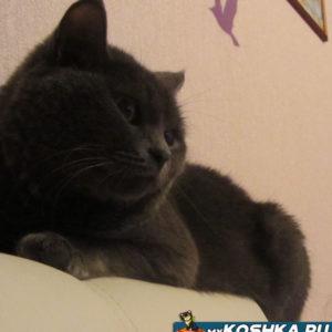 Британская кошка Гайка на спинке дивана