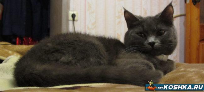 Кошка британской породы 8 месяцев