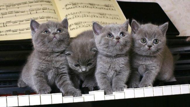 Британские котята сидят на клавишах пианино