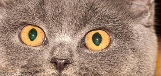 Британская короткошёрстная кошка мордочка