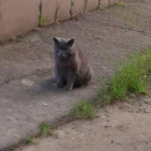 Британская беременная кошка на очень большом сроке на улице