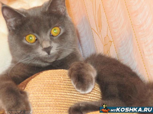 Кошка британской породы девочка