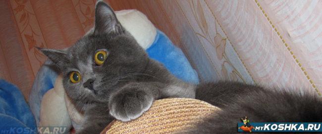 Гордая британская кошка лежит на кресле
