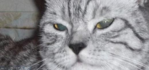 Мордашка не довольной британской кошки