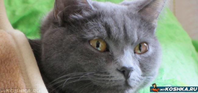 Британский кастрированный кот лежит на одеяле