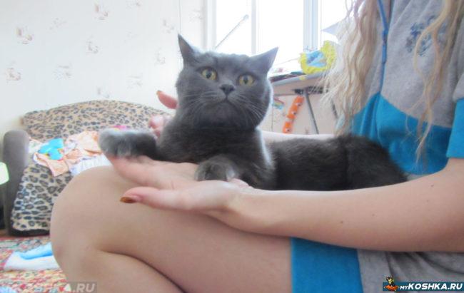 Британский кот сидит на руках владелицы