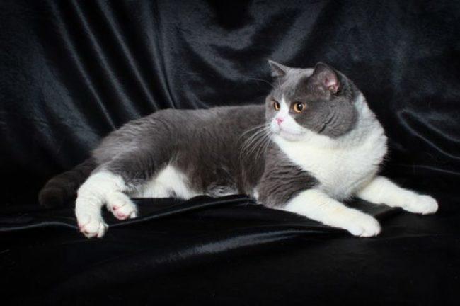 Двухцветная британская короткошёрстная кошка на диване