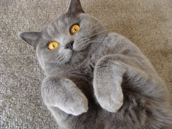 Британский кастрированный кот