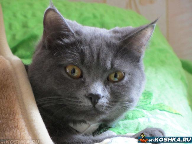 9 месячный британский кот