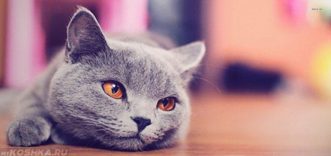 Британская кошка лежит и смотрит