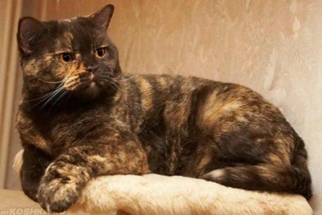 На стуле лежит британская кошка черепахового окраса