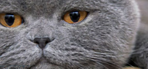 Мордочка британского кота