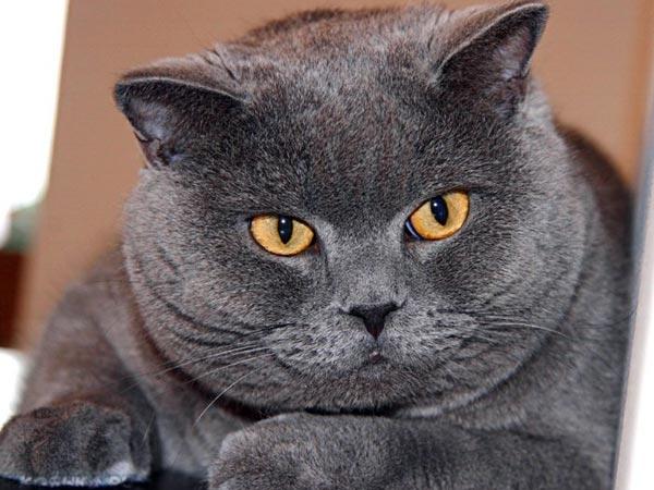 Жирный британский кот