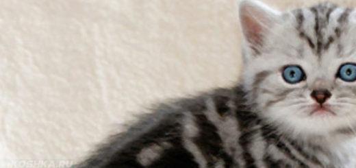Котёнок британской породы