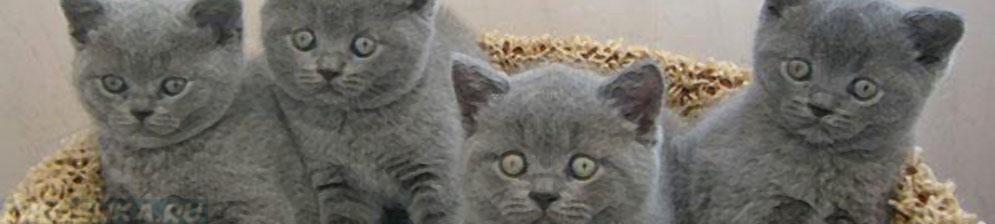 4 британских котёнка