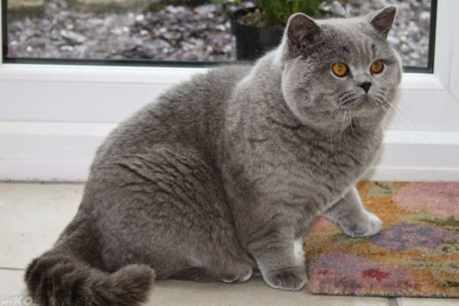Серая Британская короткошёрстная кошка вблизи