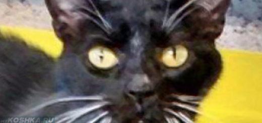 Кастрированный кот в возврасте 4 лет