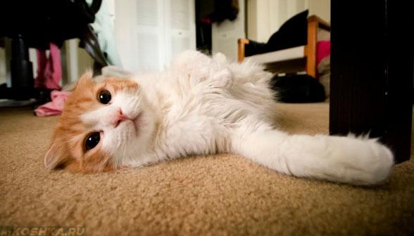 4 летний кастрированный кот лежит на полу