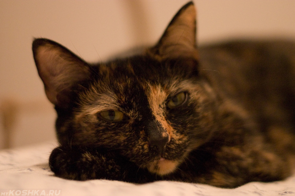 Котёнок 3 месяца девочка черепаховый окрас