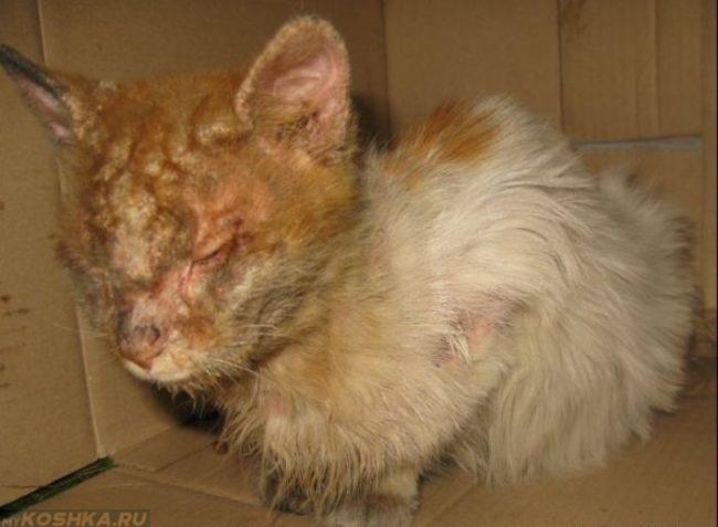 Кошка больна демодекозом