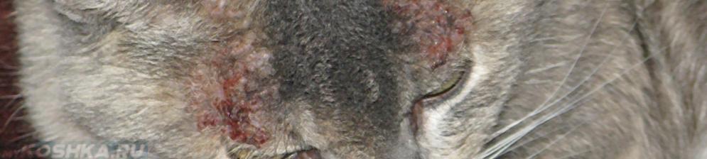 Симптомы аллергического дерматита у кошки на морде