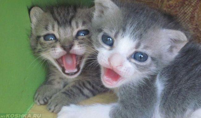 Два слепых новорождённых котёнка