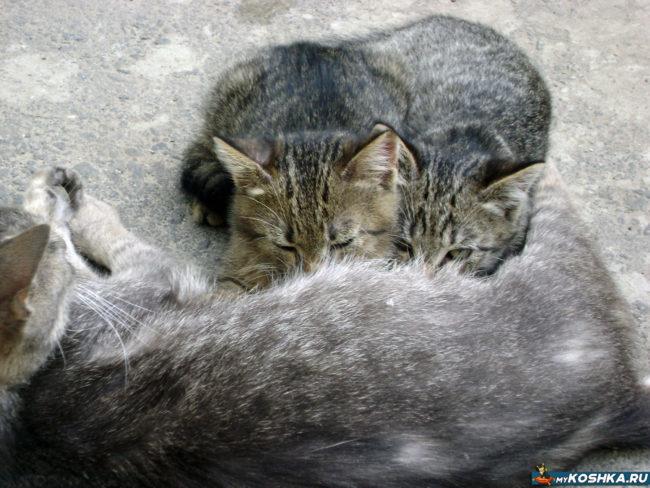 Кошка кормит дворовых котят