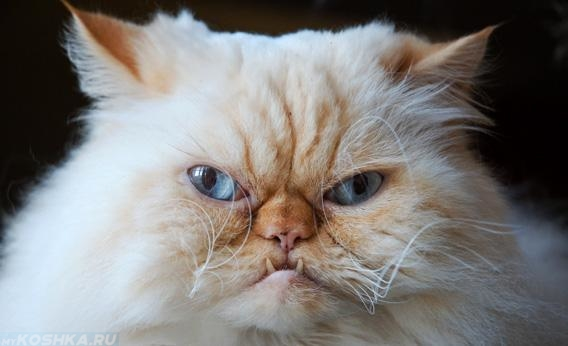 Морда злого кота