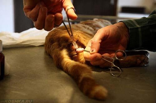 Операция по кастрации кота