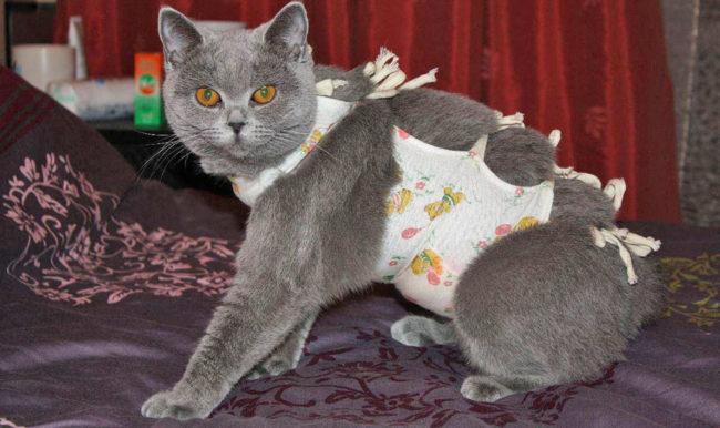 Кастрированный кот в попоне