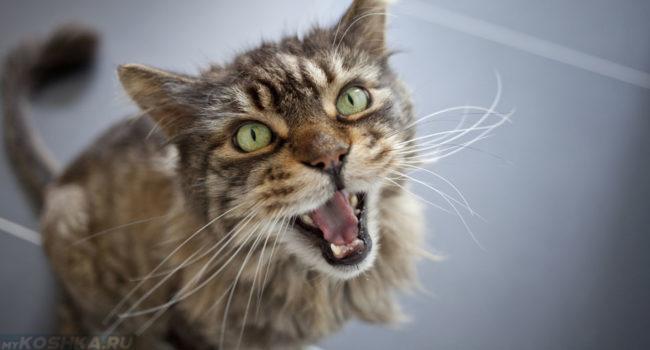 Кастрированный кот просит кошку