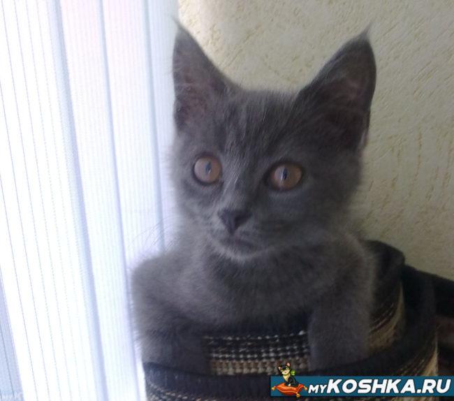 Котёнок девочка британской породы