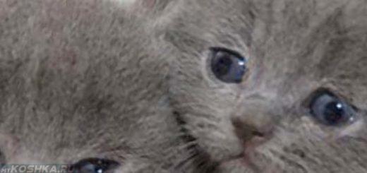 Котята британской породы после вязки с шотландским котом