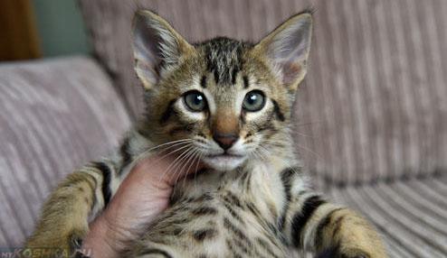 Котёнок самец морда