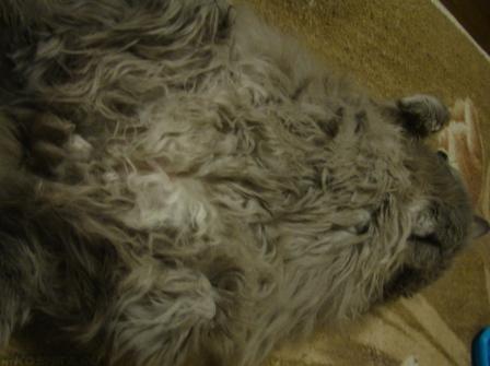 Сильные колтуны у длинношерстной кошки