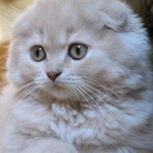 Длина шерсти, шотландский вислоухий кот